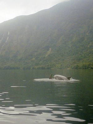 Dolphins in Doubtful Sound